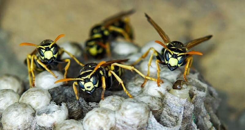 WASP Control & Nest Removal Services